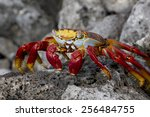 Sally Lightfoot Crab  Grapsus...