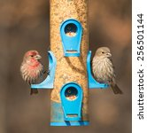 House Finch  Carpodacus...