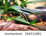 Small photo of Taylor's cantil snake Agkistrodon bilineatus taylori
