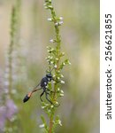 Small photo of red-banded sand wasp, Ammophila sabulosa