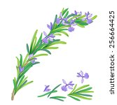 Rosemary Vector Illustration....