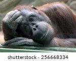 female orangutan looks... | Shutterstock . vector #256668334