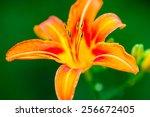 A Wild Orange Tiger Lily...