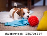Stock photo puppy jack russell terrier dog portrait on a studio background 256706839