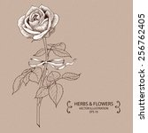 vintage rose. hand drawn vector ... | Shutterstock .eps vector #256762405