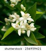 blossoming orange tree | Shutterstock . vector #256959421