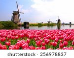Vibrant Pink Tulips With Dutch...