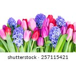 Blue Hyacinth And  Tulips...