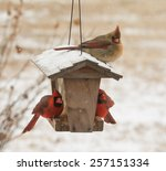 Female Northern Cardinal...