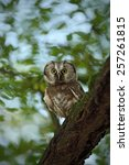 Small photo of Small bird Boreal owl, Aegolius funereus, sitting on the tree branch in nece green forest background