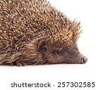 Hedgehog Close Up Isolated On...