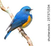 blue bird  male himalayan... | Shutterstock . vector #257371534