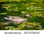 ducks floats on water | Shutterstock . vector #257470435