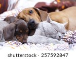 Stock photo british cat and dog dachshund 257592847