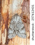 Small photo of The light knot grass, Acronicta menyanthidis resting on wood