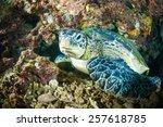 Sea Turtle On Coral Bunaken...