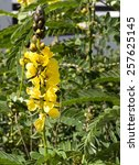 Small photo of Senna didymobotrya a species of flowering plant in legume family with common names African senna, popcorn senna, candelabra tree, and peanut butter cassia flowering in autumn.
