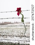 a rose on the barbed wire fence ... | Shutterstock . vector #257672527
