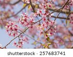 himalayan cherry blossom ... | Shutterstock . vector #257683741