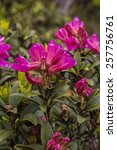 Small photo of Alpine rose bushes in the mountains in Tirol