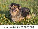 tibetan spaniel | Shutterstock . vector #257839801