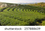 beautiful fresh green tea... | Shutterstock . vector #257888639
