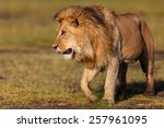 Close Up Of A Walking Lion In...