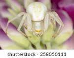Goldenrod Crab Spider  Misumen...