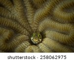Small photo of Secretary Blenny (Acanthemblemaria maria) peers out of brain coral home, Corporal Meiss dive site, Bonaire, Netherlands Antilles