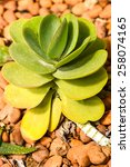 Cactus   Paddle Plant  ...