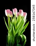 Tulips. Pink Flowers Isolated...