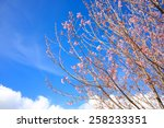 pink sakura flower blooming on... | Shutterstock . vector #258233351