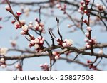 fresh buds on tree branches in...   Shutterstock . vector #25827508