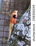Small photo of Changeable Lizard. Agamidae