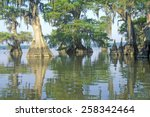 Cypress Trees In The Bayou ...