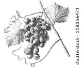 Illustration With Grapes And...