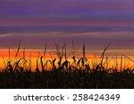 Cornstalks At Harvest Time Are...