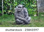 Old Chimpanzee Sitting On The...