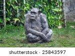 Old Chimpanzee Sitting On The...