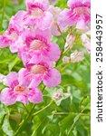 pink trumpet vine  pododranea... | Shutterstock . vector #258443957