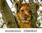 Cute Lion Cub Up A Tree In...