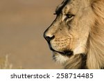Lion Stare Head Shot
