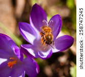 Bee On A Spring Crocus