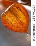 Dried Physalis Lantern  Cape...