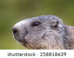 alpine marmot | Shutterstock . vector #258818639