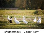 Several White Domestic Ducks On ...