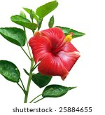 Red Hibiscus Isolated With...