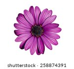 Stock photo beautiful purple chrysanthemum flower isolated on white background 258874391