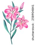 watercolor pink lily flowers... | Shutterstock . vector #258904841