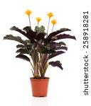 eternal flame flower  calathea... | Shutterstock . vector #258918281